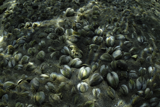 Dense bed of cockles