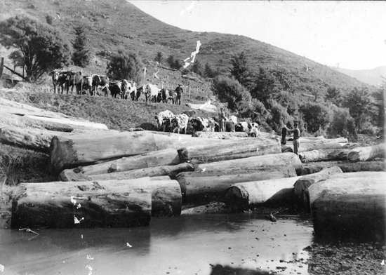 Logging kauri in Birdsall Creek