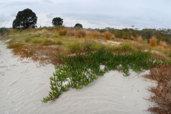A small patch of South African iceplant regrowing on Horseshoe Island