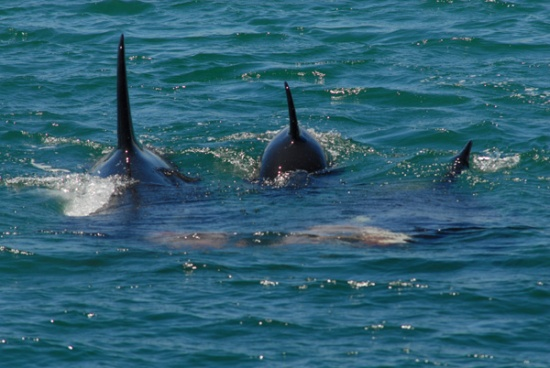 Three orca share an eagleray before passing southward under the causeway bridge.
