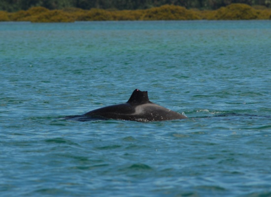 This orca lost its dorsal fin when young and is very distinctive in this pod.