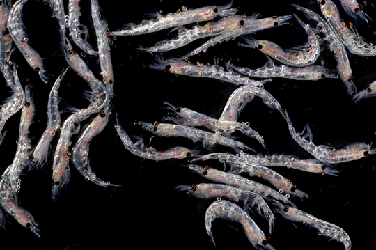 Krill Invasion