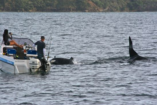 Figure 2.  The same boat continued to go too close to the orca as they travelled across Omaha Bay toward Tawharanui Marine Reserve.