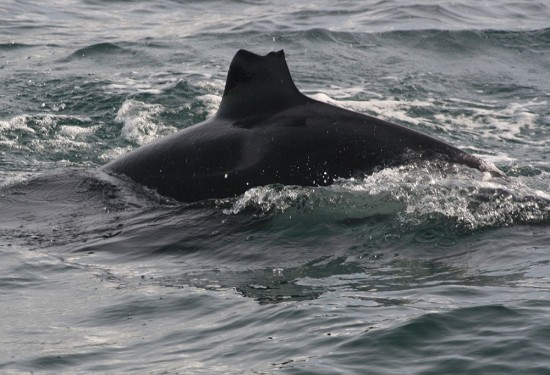 One young orca in this pod has half of its dorsal missing and is named Nibbles.