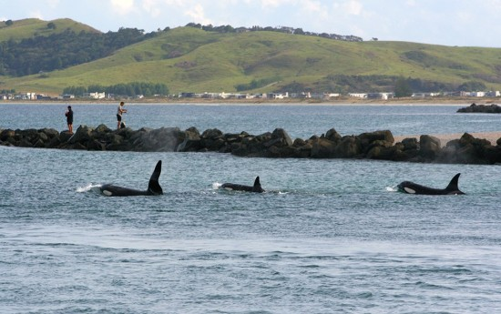 Orca pod leaving Whangateau after being harassed too much by boats.