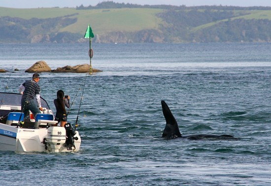 This boat got way too close to the orca in the Whangateau entrance channel.