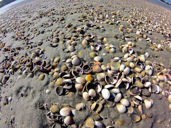 "Numerous ""cluckers"", or freshly open cockle shells, were present on some of the outer banks, reminiscent of the dead shells which were abundant after the serious cockle die-off of 2009."