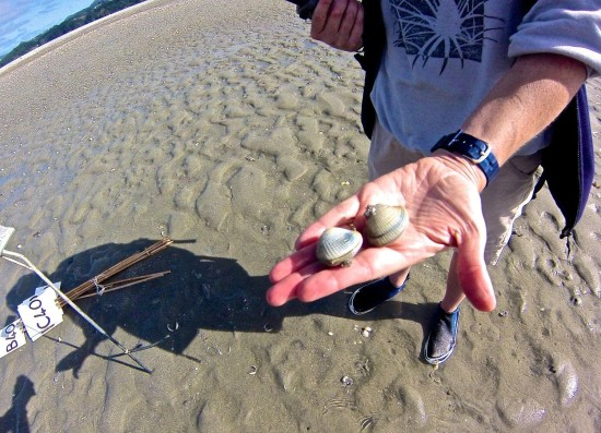 Karen holds two large but very sick cockles found lying on the sand surface.  She also found a few gaping open in a moribund state and starting to stink.