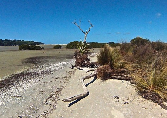 This small pohutukawa tree died a few years ago as its roots became exposed by the retreating sand as the sand bank comprising Horseshoe Island slowly migrates westward under influence of waves and storms from the east.  Sand-binding vegetation on the right is clearly eroding, but slowing down the rate of natural migration of the island