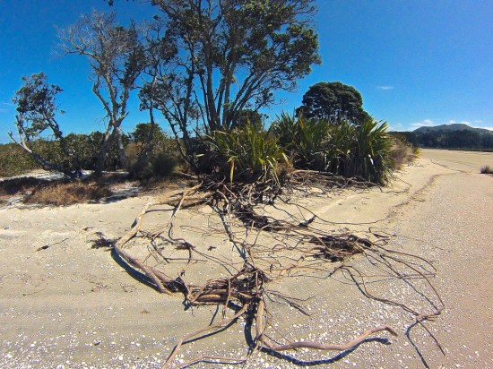 The next pohutukawa to the west is suffering the same fate as its roots are being left stranded by the moving sand