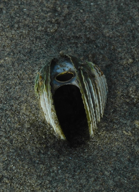 A dead and gaping cockle still embedded in the sand is slowly spreading its shells apart as the muscles which hold the shells together gradually fail.