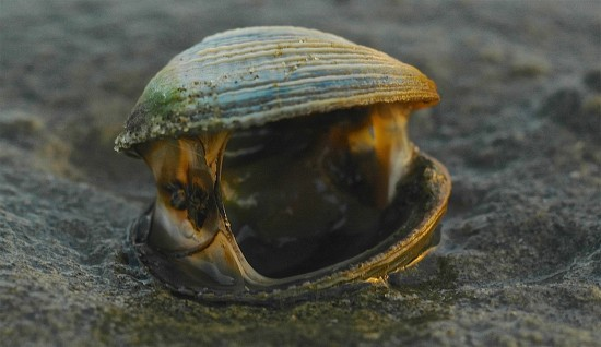A gaping cockle lies rotting and stinking on the sand surface.