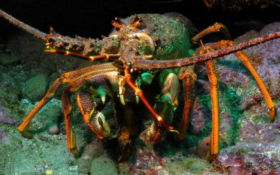 Large crayfish used to be common on our shallow reefs.  What has happened to them?  The short answer is we have both exported and eaten them!
