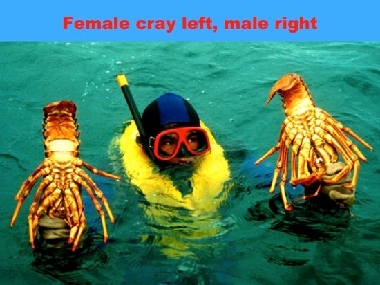 Female cray [left] and male cray [right] caught on the end of Whangaparaoa Peninsula in 1980.  Female crays have a 10-day window in which to find a suitable large male to mate with.  If unsuccessful the eggs degenerate in the ovaries and make the crayfish partly sterile.  Large males are now hard to find.  This has serious implications for the crayfish population and fisheries management.
