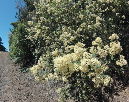 The cream-coloured flowers of the local Hamilton's kumarahou are distinctive on clay banks and roadsides at this time of year. This colony is on the Leigh road between Matakana and Whangateau.