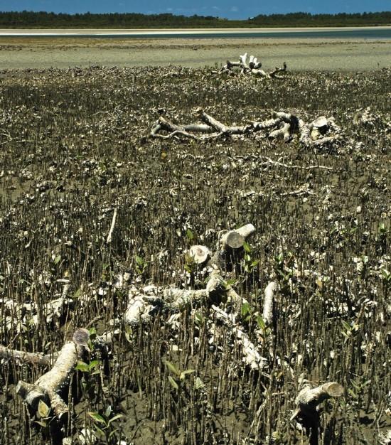 Mangroves (12)