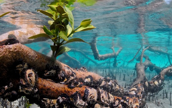 Mangroves (5)