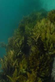 Flagging kelp_Feb-15pdf 22