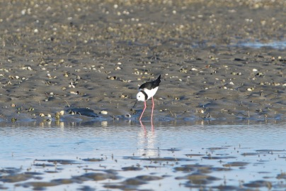 Pied Stilt feeding on mudflats